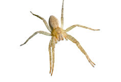 αράχνη 4 pisauridae Στοκ Εικόνα