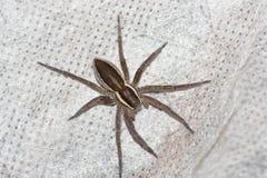 Αράχνη Στοκ Εικόνα