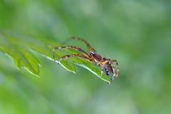 Αράχνη Στοκ Φωτογραφία