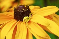 αράχνη 9 Στοκ εικόνα με δικαίωμα ελεύθερης χρήσης