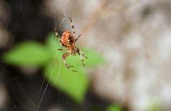Αράχνη Στοκ Φωτογραφίες