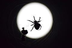 Αράχνη Araneus στο υπόβαθρο του φεγγαριού Στοκ Φωτογραφίες