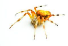 Αράχνη Araneus Marmoreus Στοκ εικόνα με δικαίωμα ελεύθερης χρήσης