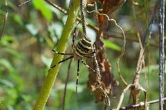 Αράχνη Argiopa που σέρνεται στην ξηρά χλόη Στοκ φωτογραφία με δικαίωμα ελεύθερης χρήσης