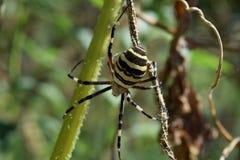 Αράχνη Argiopa που σέρνεται στην ξηρά χλόη Στοκ φωτογραφίες με δικαίωμα ελεύθερης χρήσης
