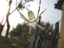 Αράχνη Argiopa στον Ιστό Στοκ φωτογραφία με δικαίωμα ελεύθερης χρήσης