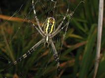 Αράχνη Argiopa στον Ιστό Στοκ Εικόνα