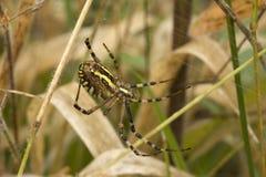 αράχνη argiopa Στοκ Εικόνες