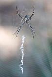 Αράχνη Argiope στον Ιστό Στοκ Εικόνες