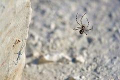 Αράχνη Argiope Στοκ φωτογραφία με δικαίωμα ελεύθερης χρήσης