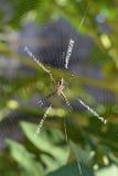 Αράχνη Argiope Στοκ Εικόνες