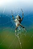 Αράχνη Argiope Στοκ εικόνα με δικαίωμα ελεύθερης χρήσης
