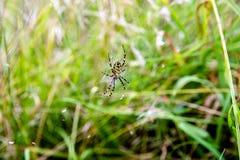 Αράχνη Argiope Στοκ εικόνες με δικαίωμα ελεύθερης χρήσης