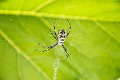 Αράχνη bruennichi Argiope ενάντια σε ένα πράσινο φύλλο υποβάθρου Στοκ Εικόνες