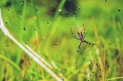 Αράχνη Bruennichi argiope και πολυάριθμες μύγες στο δίκτυό του κάνετε το σημάδι της Ρωσίας περιοχών της Μόσχας σκέφτεται τι εσείς Στοκ Φωτογραφία