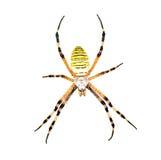 Αράχνη (bruennichi Argiope) που απομονώνεται στο λευκό Στοκ φωτογραφία με δικαίωμα ελεύθερης χρήσης