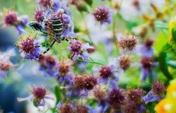 Αράχνη Bruennichi Argiope που κάνει ποια αράχνη κάνει Στοκ Εικόνες