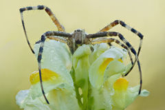 Αράχνη Bruennichi Argiope σε ένα λουλούδι Στοκ Φωτογραφίες