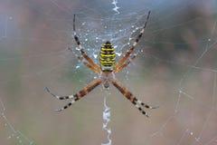 Αράχνη Bruennichi Argiope σε ένα spiderweb με τις πτώσεις νερού Στοκ φωτογραφίες με δικαίωμα ελεύθερης χρήσης
