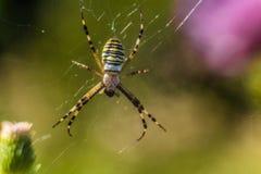 Αράχνη bruennichi Argiope στον Ιστό Στοκ Εικόνα