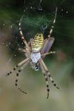 Αράχνη (bruennichi Argiope) Στοκ φωτογραφία με δικαίωμα ελεύθερης χρήσης