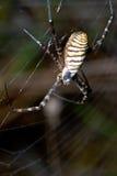 Αράχνη, bruennichi Argiope Στοκ εικόνες με δικαίωμα ελεύθερης χρήσης