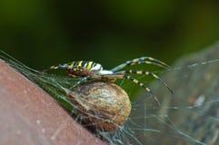 Αράχνη (bruennichi Argiope) Στοκ φωτογραφίες με δικαίωμα ελεύθερης χρήσης