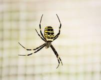 Αράχνη bruennichi Argiope Στοκ Εικόνες