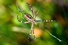 Αράχνη, bruennichi Argiope Στοκ Φωτογραφία
