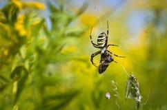Αράχνη - bruennichi Argiope Στοκ εικόνες με δικαίωμα ελεύθερης χρήσης