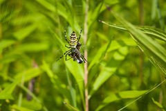Αράχνη - bruennichi Argiope Στοκ φωτογραφίες με δικαίωμα ελεύθερης χρήσης