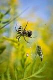 Αράχνη - bruennichi Argiope Στοκ Φωτογραφία