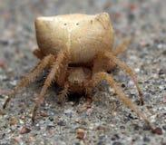 Αράχνη Catface Στοκ φωτογραφίες με δικαίωμα ελεύθερης χρήσης