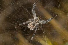 αράχνη cyrtophora citricola Στοκ εικόνα με δικαίωμα ελεύθερης χρήσης