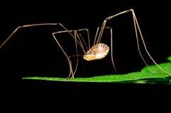Αράχνη Harvestmen στοκ φωτογραφία με δικαίωμα ελεύθερης χρήσης