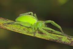 αράχνη micrommata virescens Στοκ φωτογραφία με δικαίωμα ελεύθερης χρήσης