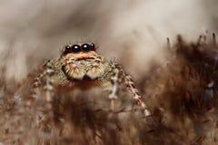 αράχνη salticus Στοκ εικόνα με δικαίωμα ελεύθερης χρήσης