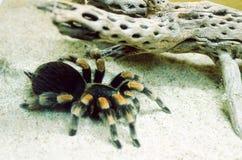Αράχνη Tarantula Στοκ Εικόνες