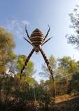 Αράχνη Trifasciata Argiope στην κατακόρυφο Ιστού Στοκ Φωτογραφία