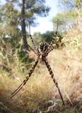 Αράχνη Trifasciata Argiope στην κατακόρυφο μπροστινής άποψης Ιστού Στοκ Εικόνες