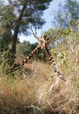 Αράχνη Trifasciata Argiope στην κατακόρυφο μπροστινής άποψης Ιστού Στοκ φωτογραφία με δικαίωμα ελεύθερης χρήσης
