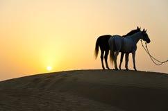 Αραβικά άλογα Στοκ Εικόνες