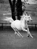 Αραβικά άλογα καλπασμού Στοκ Φωτογραφίες