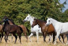 αραβικά άλογα κοπαδιών Στοκ Φωτογραφίες