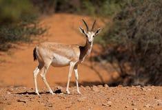 Αραβική άμμος gazelle - αραβική χερσόνησος Στοκ Εικόνα