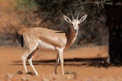 Αραβική άμμος gazelle Στοκ φωτογραφία με δικαίωμα ελεύθερης χρήσης
