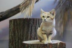 Αραβική γάτα άμμου Στοκ Φωτογραφία