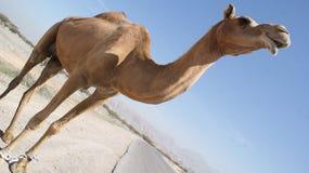 αραβική καμήλα Στοκ φωτογραφία με δικαίωμα ελεύθερης χρήσης