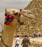 αραβική καμήλα Στοκ φωτογραφίες με δικαίωμα ελεύθερης χρήσης