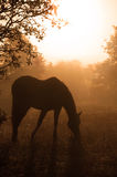 αραβική ομίχλη που βόσκει τη βαριά σκιαγραφία αλόγων στοκ εικόνα